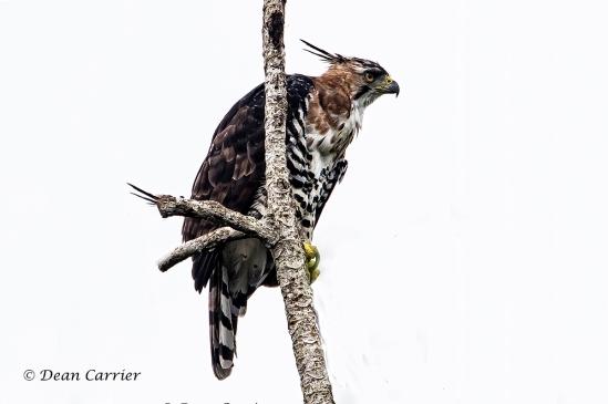Ornate Hawk-Eagle 4copy