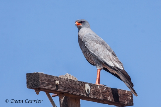 Pale-chanting Goshawk 1