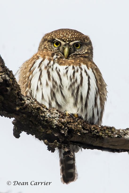Pygmy Owl 10