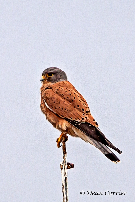 Rock Kestrel 1