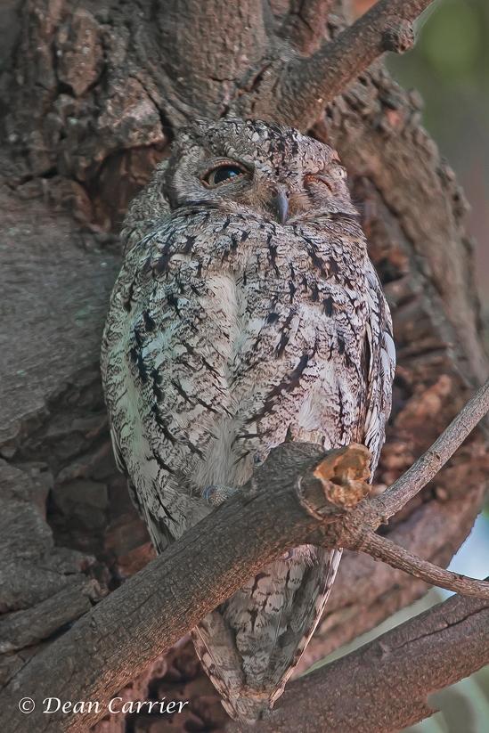 Scops Owl 1
